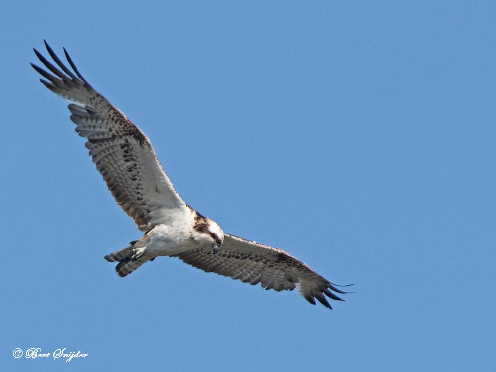 Visarend Vogels Portugal