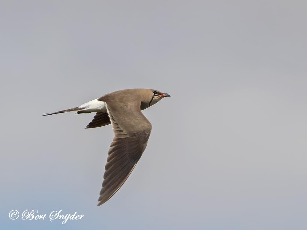 Vorkstaartplevier Vogelvakantie Portugal