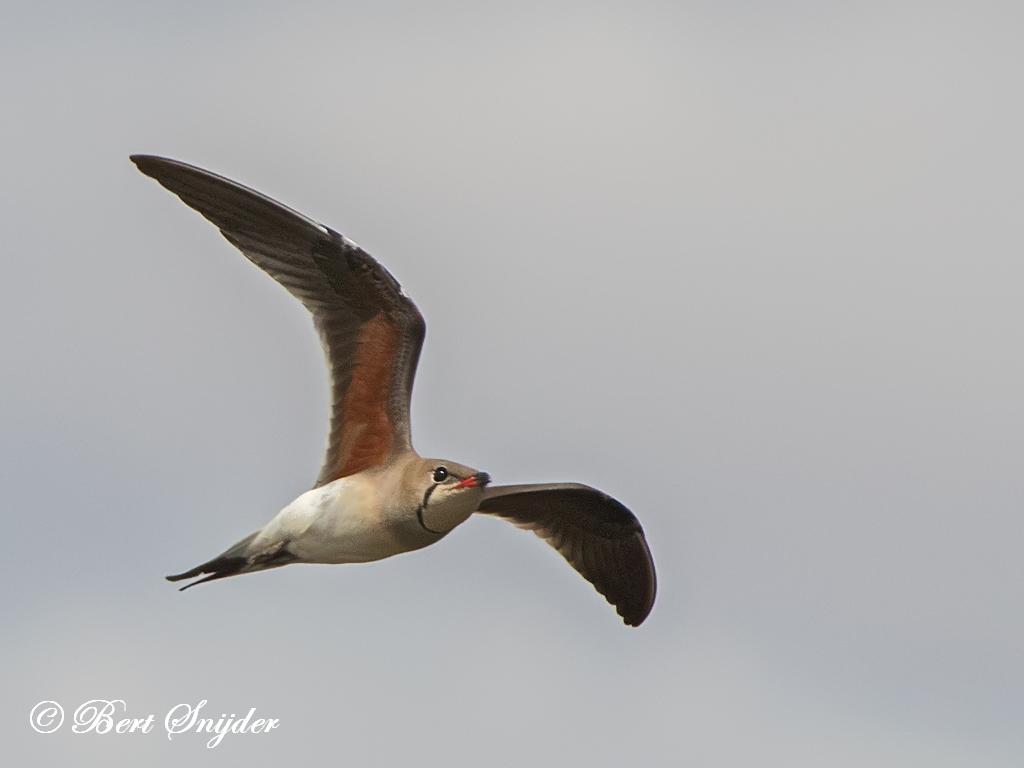 Vorkstaartplevier Vogelreis Portugal