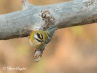Vuurgoudhaan Vogelvakantie Portugal