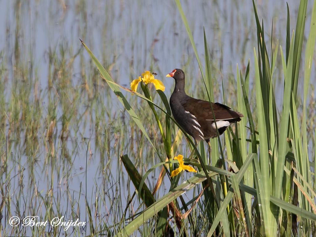 Waterhoen Vogelreis Portugal