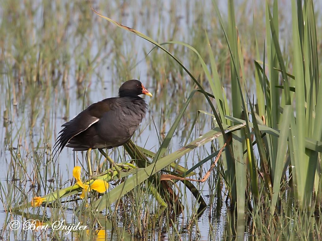 Waterhoen Vogelvakantie Portugal