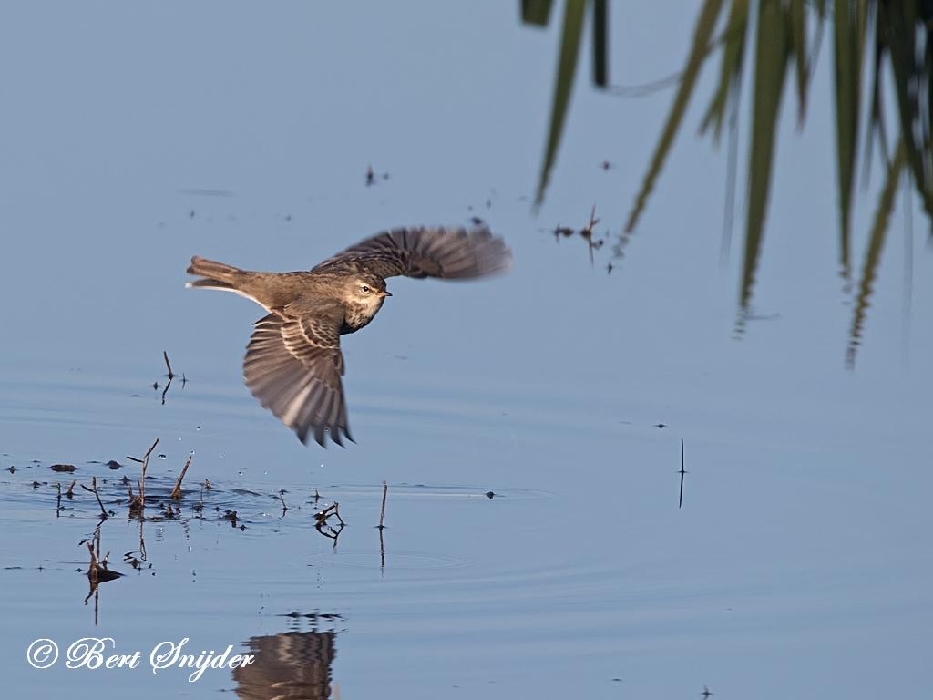 Waterpieper Vogelvakantie Portugal