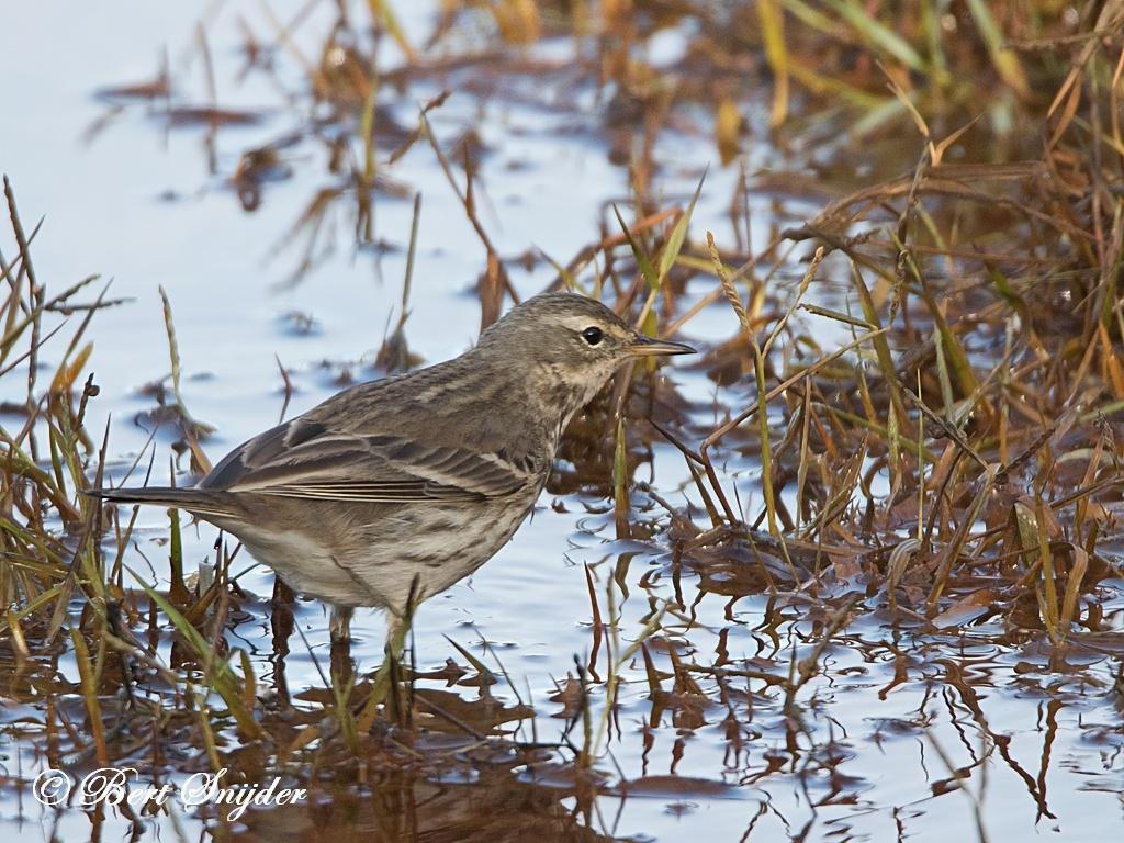 Waterpieper Vogelreis Portugal