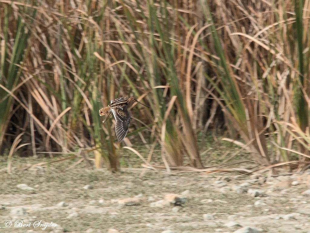 Watersnip Vogelvakantie Portugal