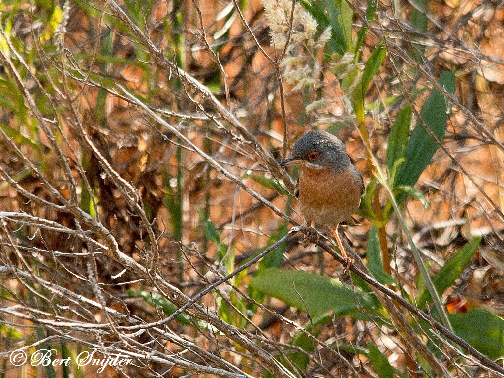 Westelijke Baardgrasmus Vogelvakantie Portugal
