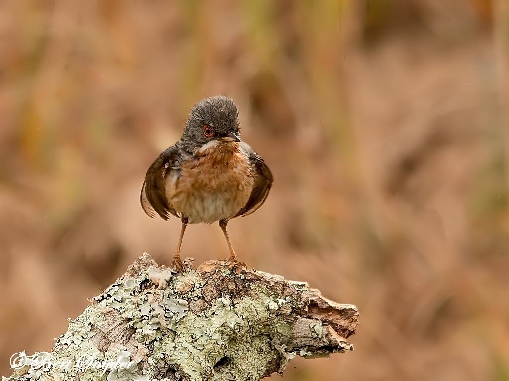 Westelijke Baardgrasmus Vogelhut BSP1 Portugal