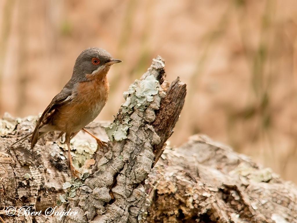 Westelijke Baardgrasmus Vogelreis Portugal