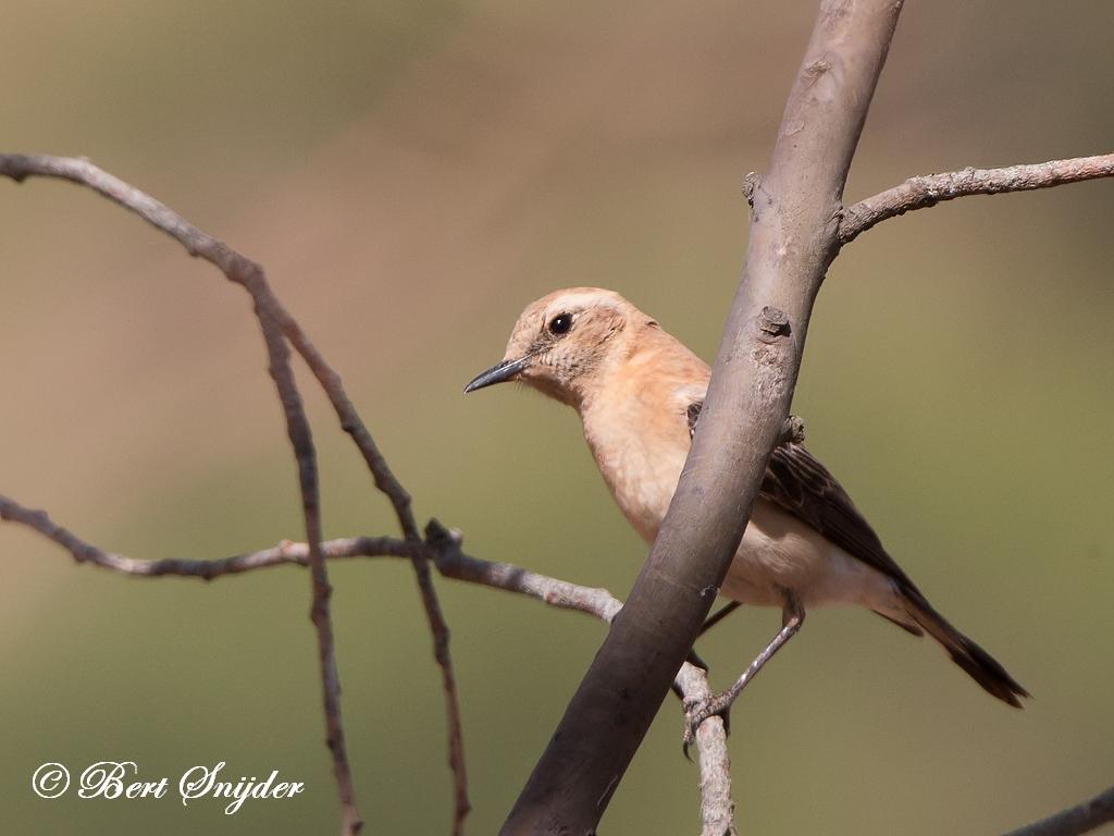 Westelijke Blonde Tapuit Vogelreis Portugal