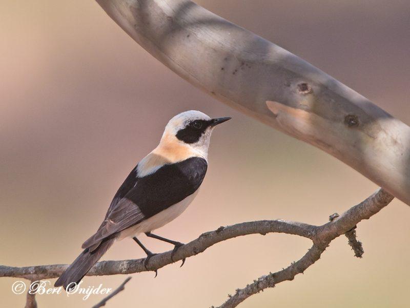 Westelijke Blonde Tapuit Vogelvakantie Portugal