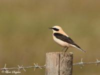 Westelijke Blonde Tapuit Vogelfotografiereis Portugal