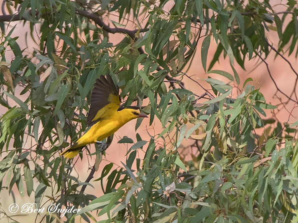 Wielewaal Vogelreis Portugal