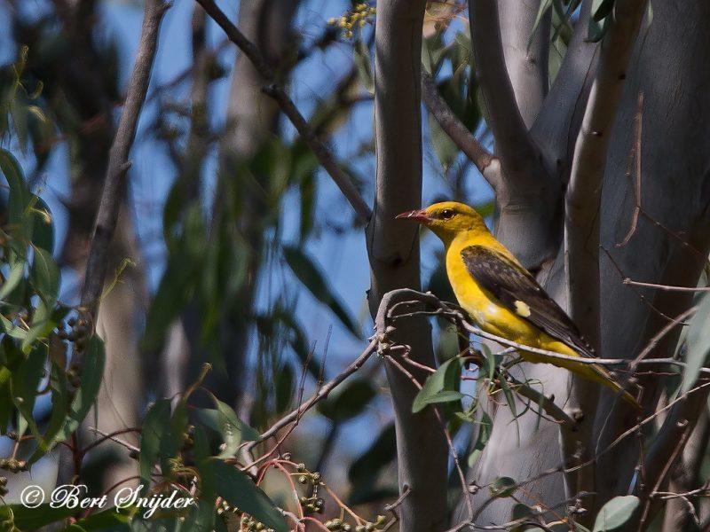 Wielewaal Vogelvakantie Portugal