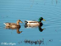 Wilde Eend Vogelvakantie Portugal