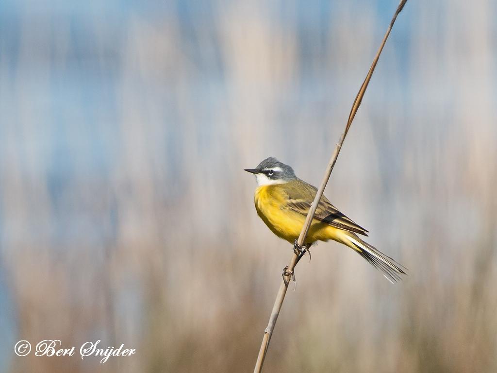 Witkeelkwikstaart Vogelreis Portugal