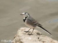 Witte Kwikstaart Vogelreis Portugal