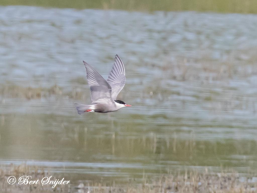 Witwangstern Vogelvakantie Portugal