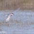 Witwangstern Vogelreis Portugal