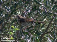 Zanglijster Vogelreis portugal