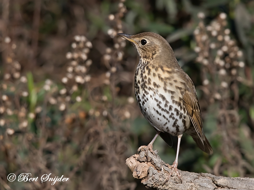 Zanglijster Vogels Portugal