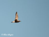 Zilverplevier Vogelvakantie Portugal
