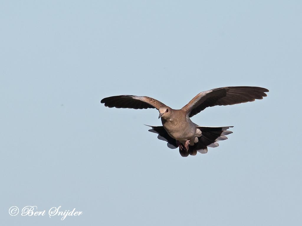 Zomertortel Vogelhut BSP3 Portugal