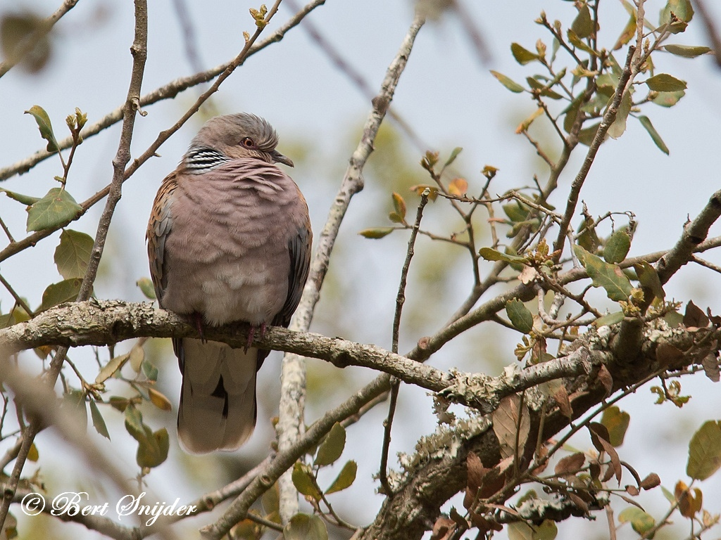 Zomertortel Vogelreis Portugal