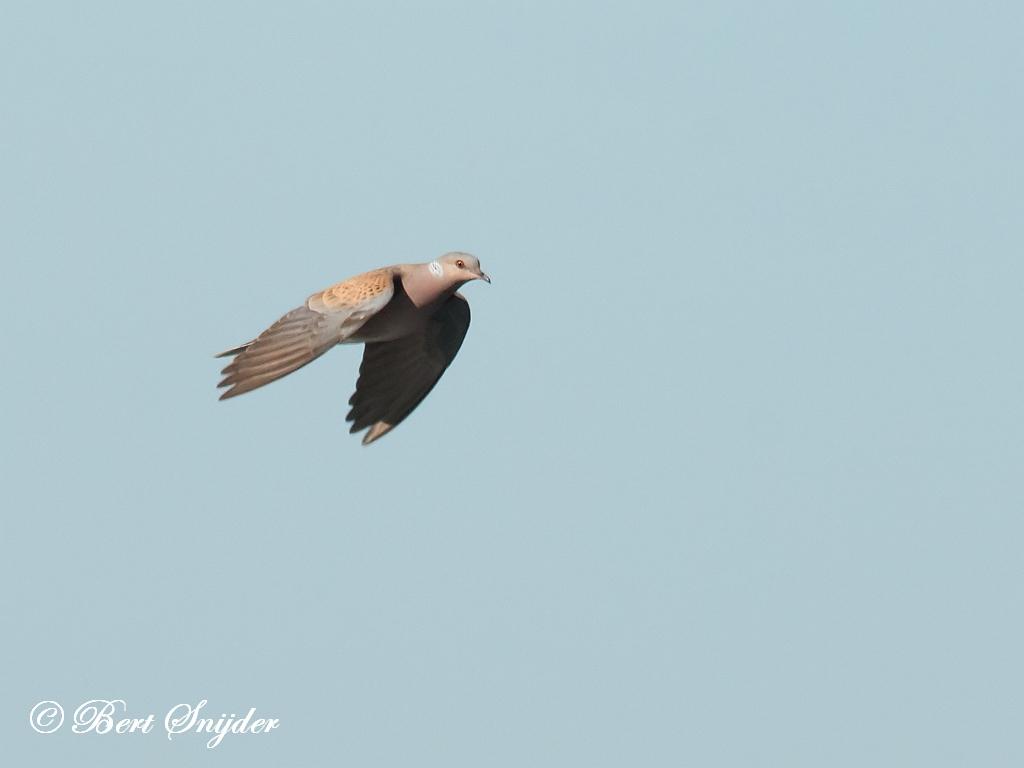 Zomertortel Vogelvakantie Portugal