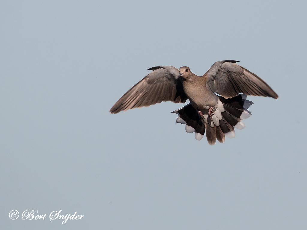 Zomertortel Vogelkijkhut BSP3 Portugal