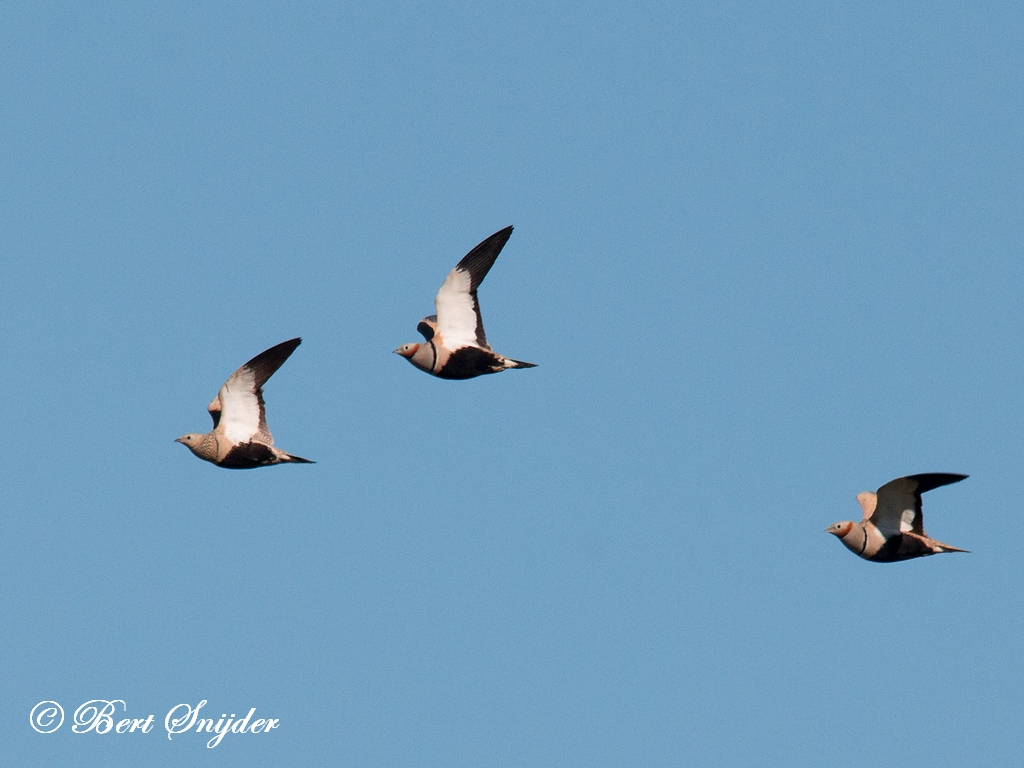 Zwartbuikzandhoen Vogelhut BSP5 Portugal