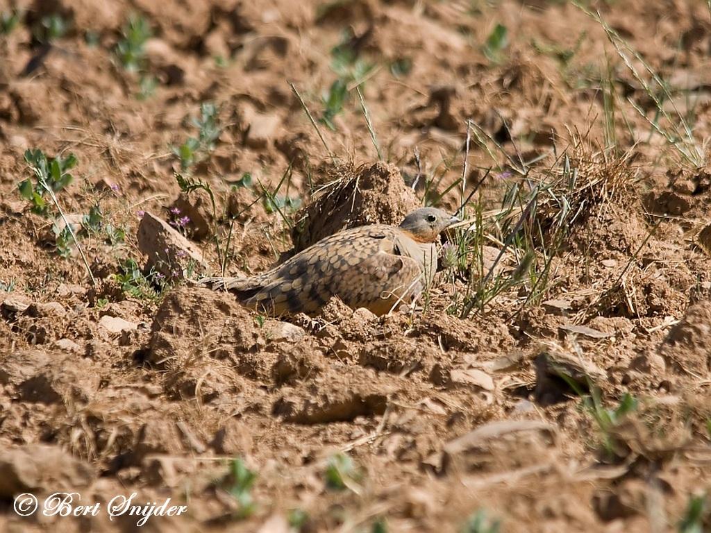 Zwartbuikzandhoen Vogelfotografiereis Portugal