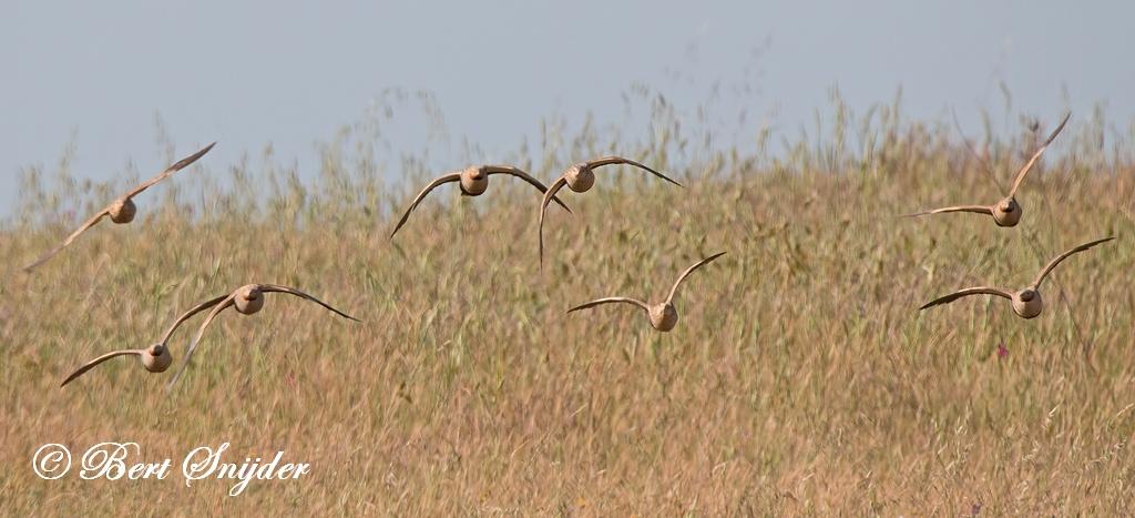 Zwartbuikzandhoen Vogelvakantie Portugal
