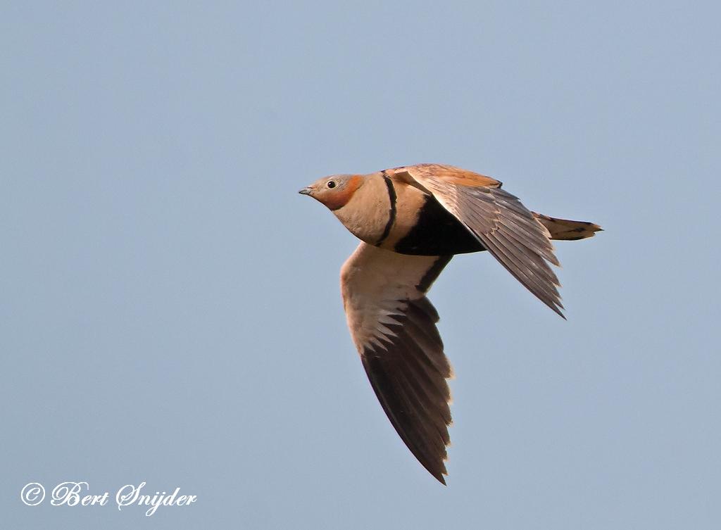 Zwartbuikzandhoen Vogelreis Portugal
