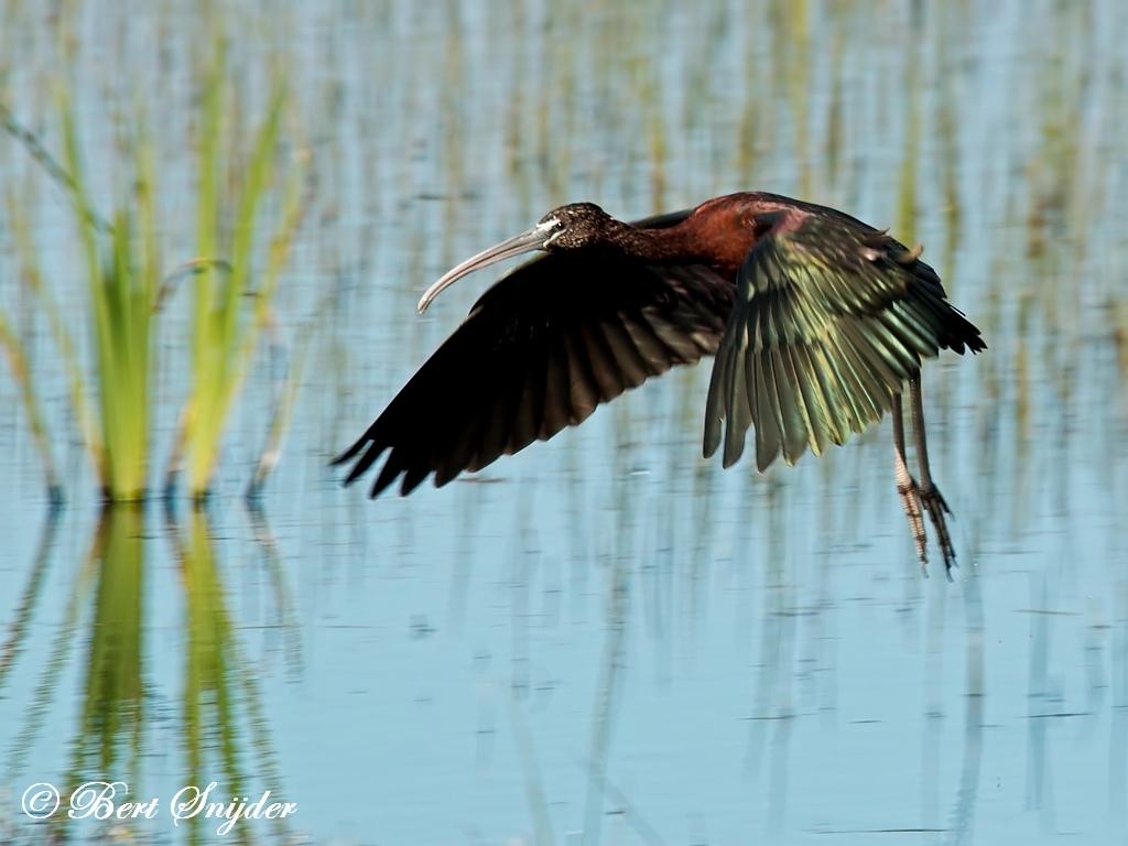 Zwarte Ibis Vogelvakantie Portugal