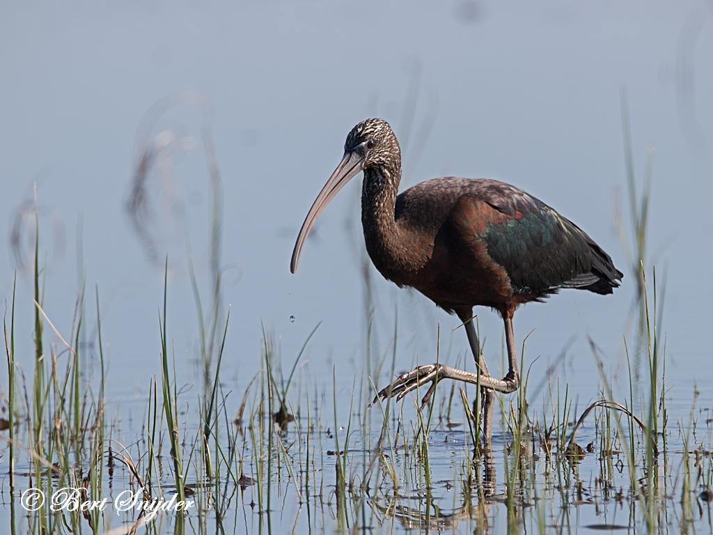 Zwarte Ibis Vogelhut BSP2 Portugal