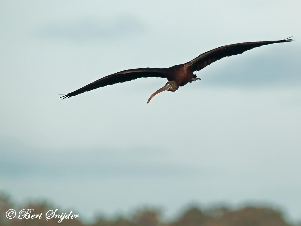 Zwarte Ibis Vogelreis Portugal