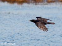 Zwarte Kraai Vogelreis Portugal