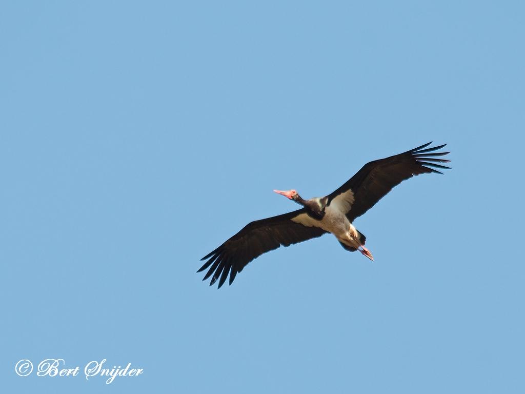 Zwarte Ooievaar Vogelvakantie Portugal