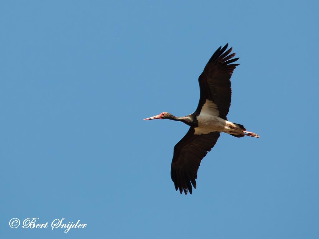 Zwarte Ooievaar Vogelreis Portugal