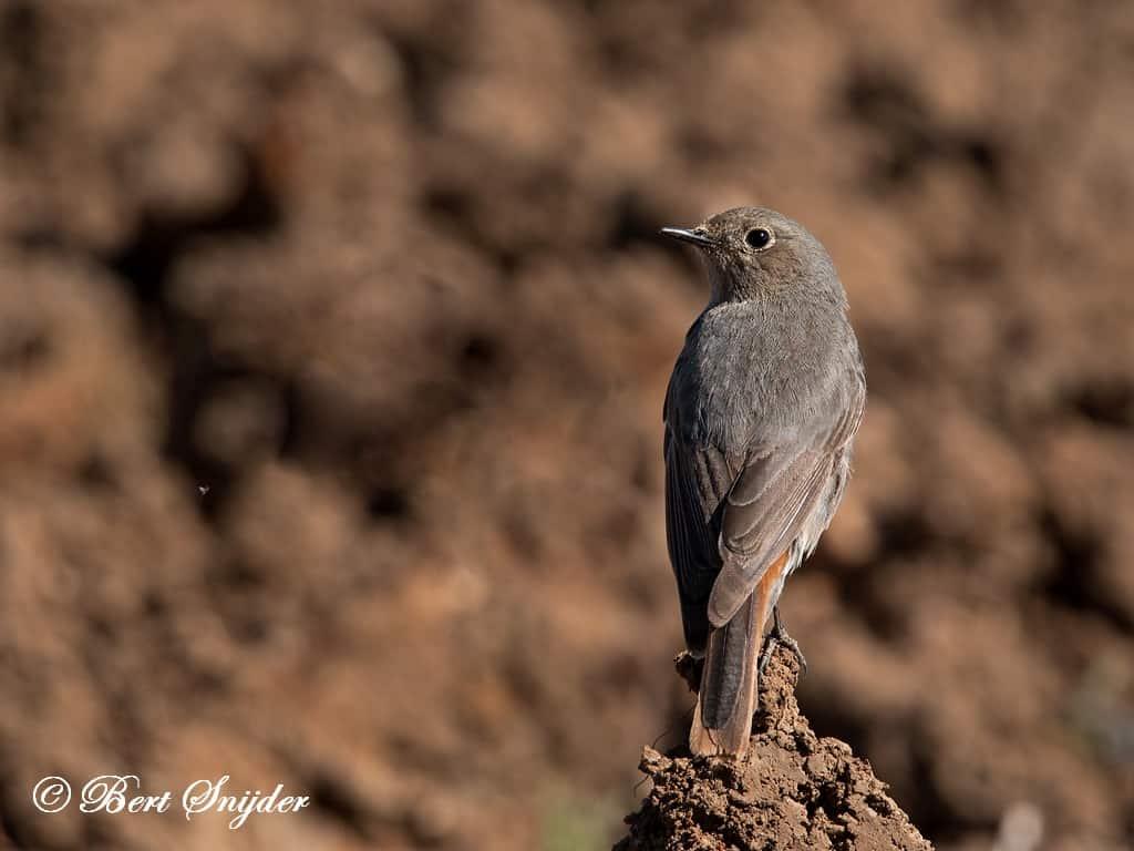 Zwarte Roodstaart Roodstaart Vogelvakantie Portugal