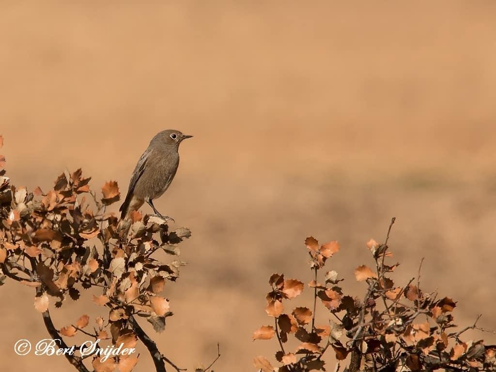 Zwarte Roodstaart Vogelreis Portugal