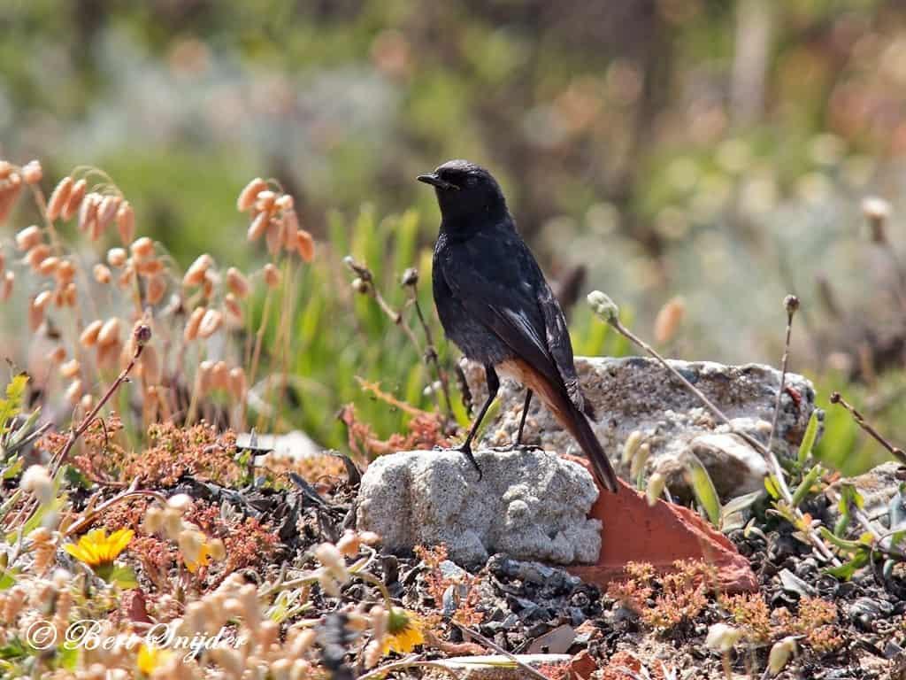 Zwarte Roodstaart Vogelvakantie Portugal