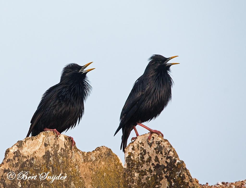 Zwarte Spreeuw Vogeljut BSP6 Portugal