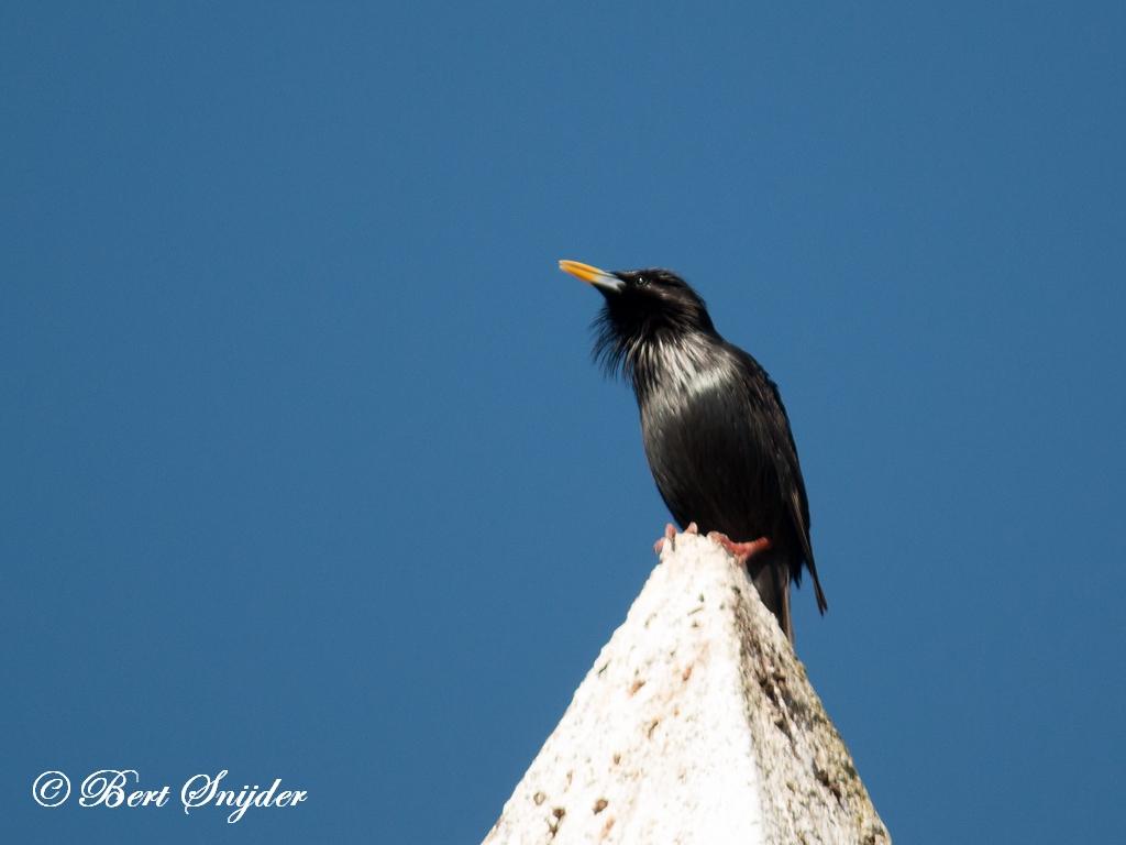 Zwarte Spreeuw Vogelreis Portugal