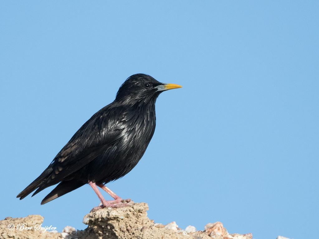 Europese Kanarie Vogels Portugal