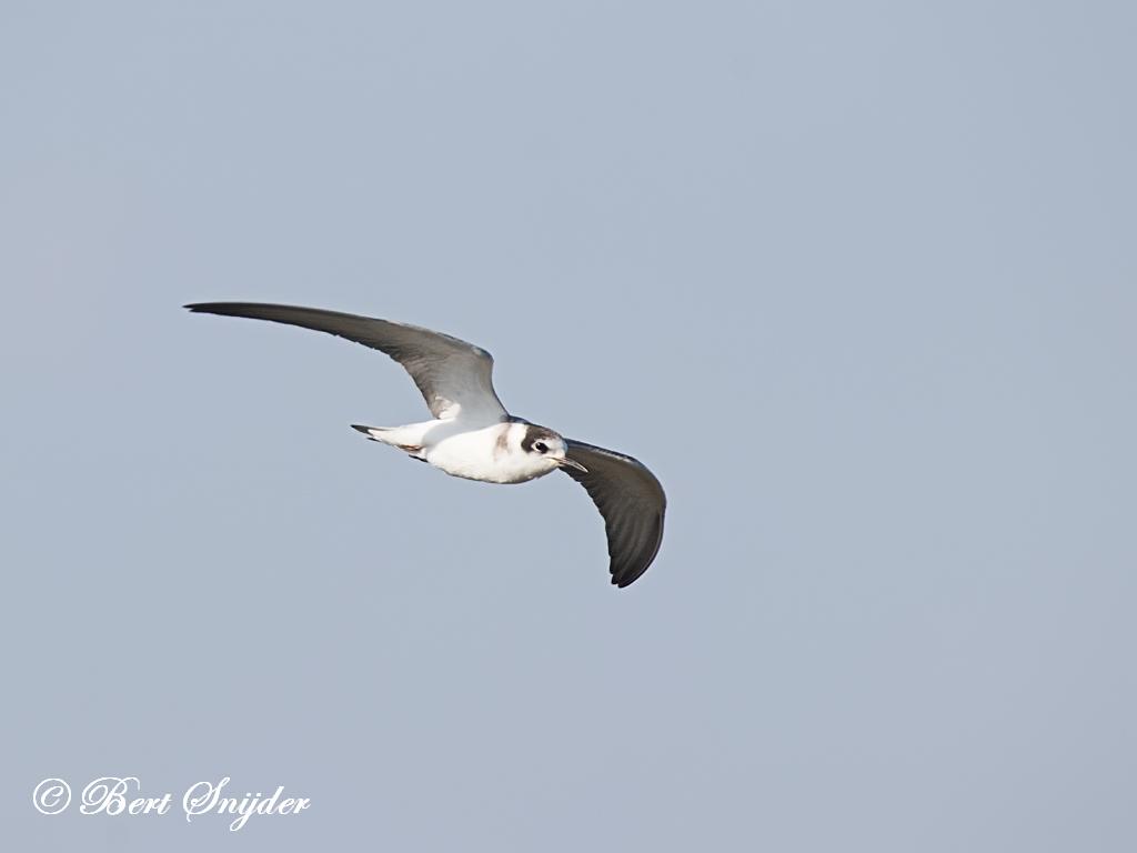 Zwarte Stern Vogelreis Portugal
