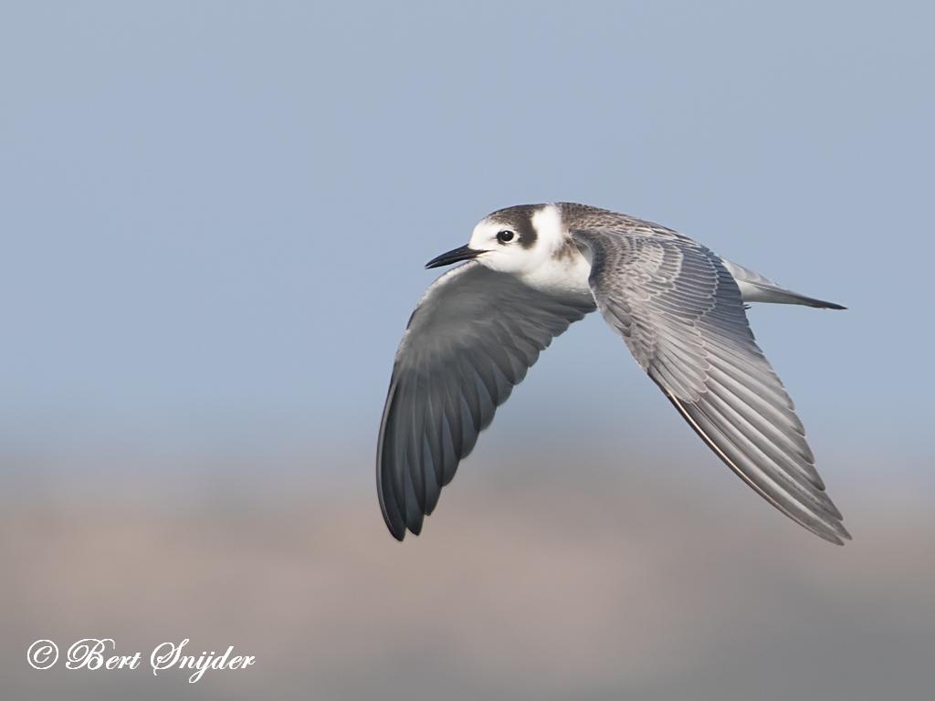 Zwarte Stern Vogelvakantie Portugal
