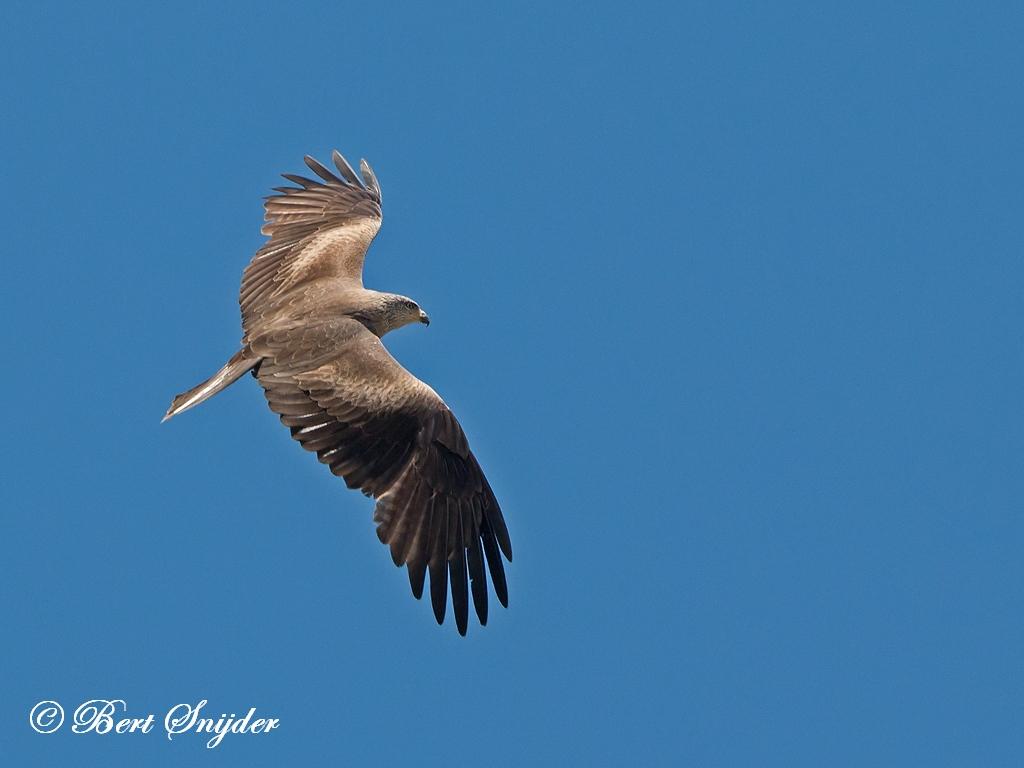 Zwarte Wouw Vogelvakantie Portugal