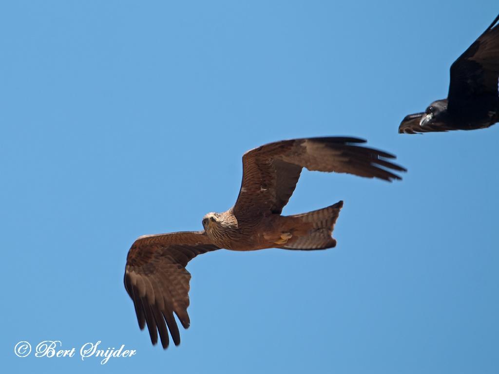 Zwarte Wouw Vogelreis Portugal