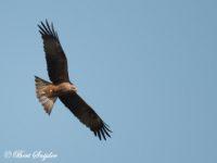 Zwarte Wouw Vogelfotografiereis Portugal